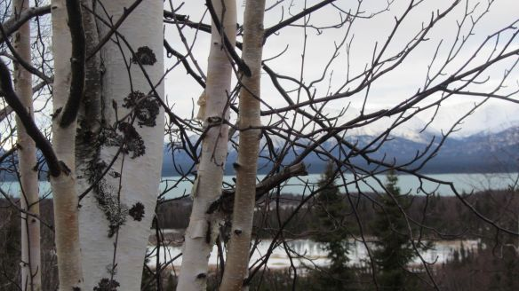 Birch trees overlooking Lake Clark