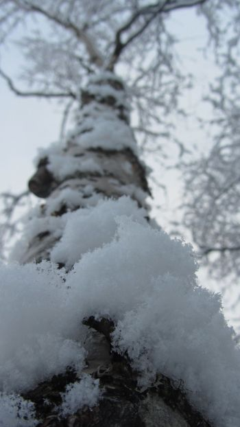 Snow on birch tree