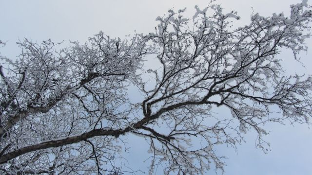 Winter birch branch