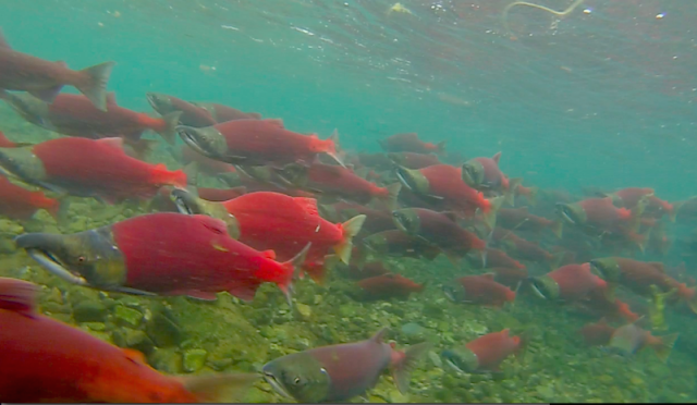Sockeye Salmon in Alaska